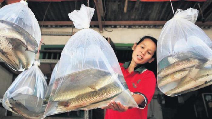 Terbukti, Ikan Gabus Dapat Obati Diabetes