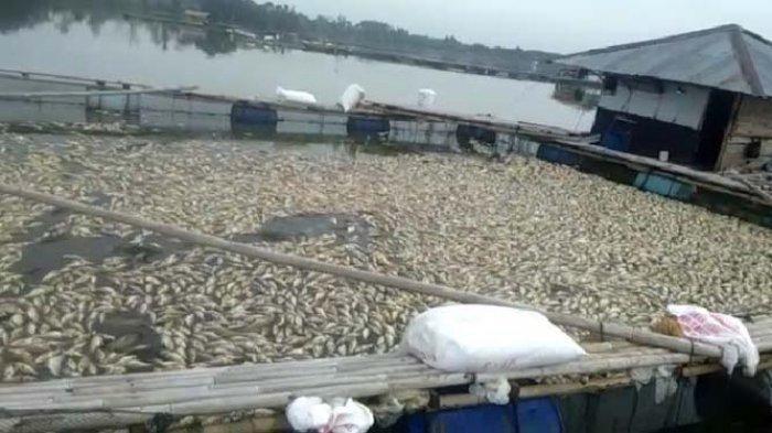 Ribuan Ikan Mati Diduga karena Gas Beracun, Petambak di Lampung Utara Rugi Miliaran Rupiah
