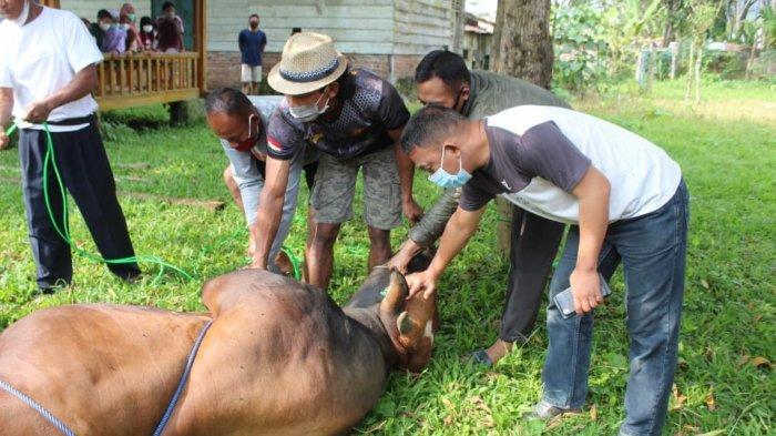 Idul Adha 2021, Kodim 0422/Lampung Barat Kurban Sapi