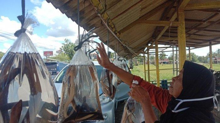Kondisi Iklim Akibatkan Belut Tidak Berkembang di Pringsewu