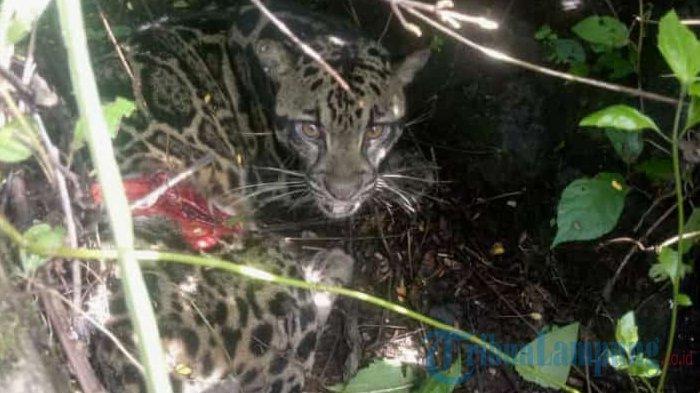 Macan Tutul Kejutkan Warga Lampung Barat yang Sedang Bersihkan Jalan Lintas