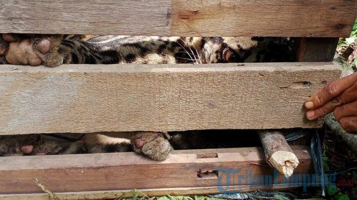 Seekor macan tutul ditemukan warga Pekon Tembelang, BNS, Lampung Barat saat melakukan kegiatan gotong royong, Jumat (22/1/2021).