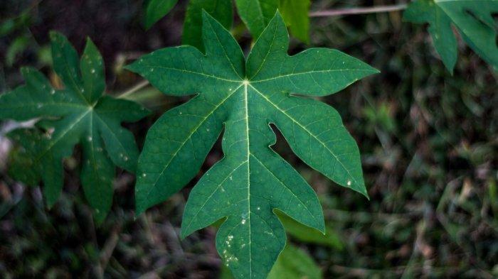 Ilustrasi daun pepaya. Simak manfaat daun pepaya, bisa atasi sembelit