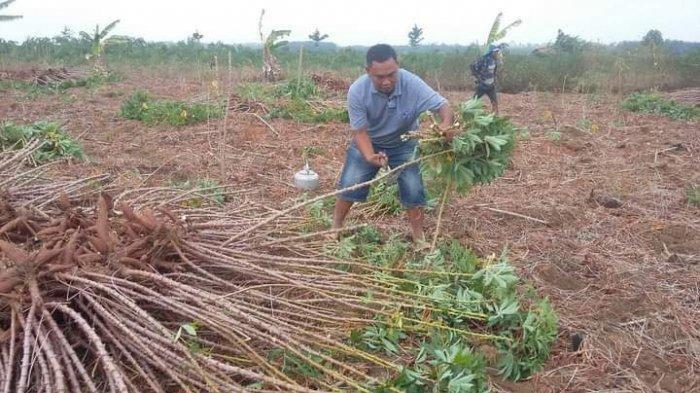 Pandemi Covid-19 Turut Sebabkan Anjloknya Harga Singkong di Lampung Tengah