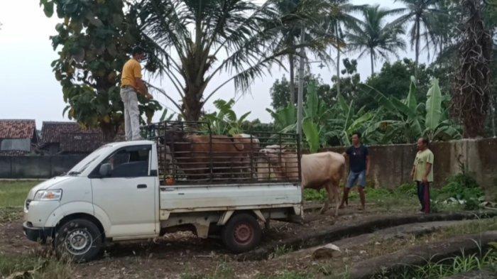 Pedagang Hewan Kurban di Tanggamus Lampung Keluhkan Sepinya Penjualan