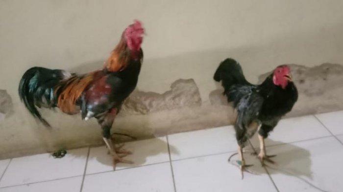 Pencurian Ayam di Way Kanan, Pelaku Sempat Keluarkan Sebilah Pisau Saat Ditegur Warga yang Curiga