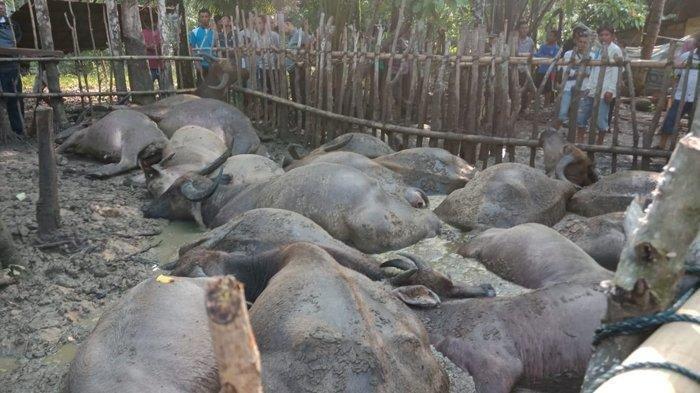 Puluhan Kerbau dan Sapi Mati Mendadak di Aceh Singkil