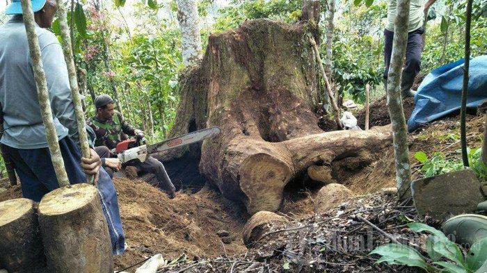 Proses pengambilan bahan baku untuk membuat meja dari kayu selasih. Winda merupakan seorang pembuat meja dari kayu selasih yang berumur puluhan tahun, harapkan bantuan alat dari pemerintah.