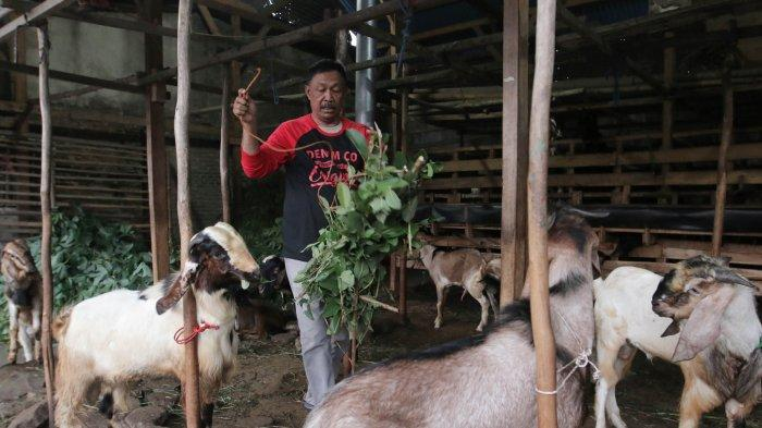 Disbunnak Lampung Barat Siapkan Bantuan 300 Ekor Kambing
