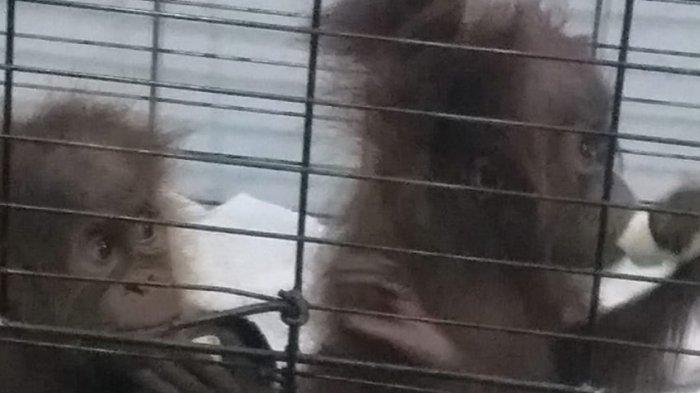 Penyelundupan 2 Anak Orangutan Langka Terhenti di Pelabuhan Bakauheni