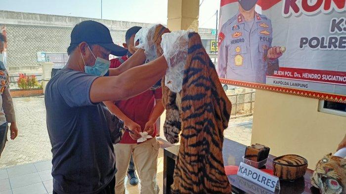 Disita di Lampung Selatan, Kulit Harimau Selundupan Akan Dijual ke Jawa Barat