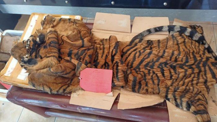 Harga Kulit Harimau Selundupan Rp 10 Juta, Polres Lampung Selatan juga Sita Tulang Ikan Duyung