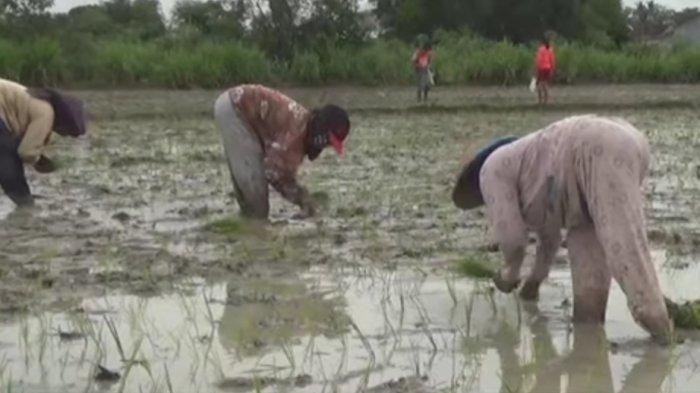 Petani Keluhkan Pupuk di Lamteng Naik Rp 40 Ribu per Kg