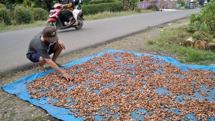 Petani Kakao di Pesawaran Semringah Harga Jual Biji Kakao Mulai Merangkak Naik