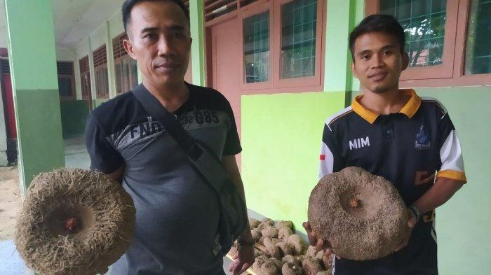 Suhesi (kiri) menunjukkan porang di Koperasi Sabalam, Bandar Lampung, pekan lalu.