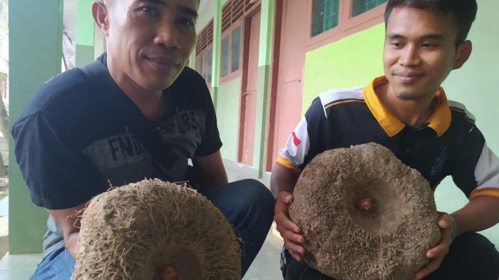 Cerita Petani Porang di Lampung, Bisa Raup Rp 200 Juta per Hektare