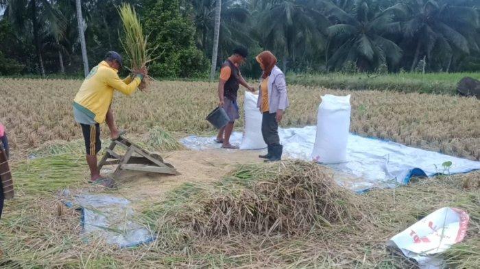 Tak Ada Wereng, Petani Tanggamus Lampung Bisa Panen Gadu