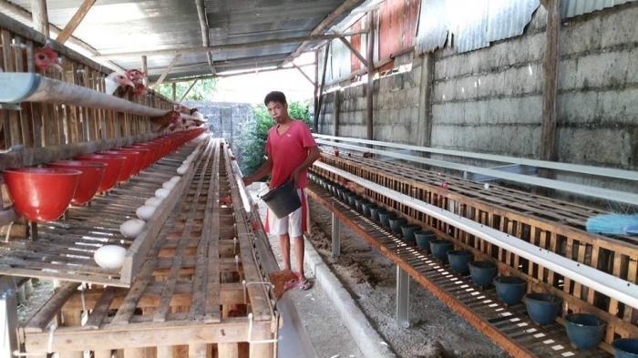 Berkat Unggas Petelur, Lampung Ukir Rekor MURI