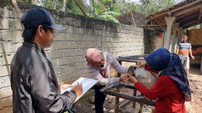 Petugas Temukan Hewan Kurban Belum Cukup Umur Dijual di Pringsewu