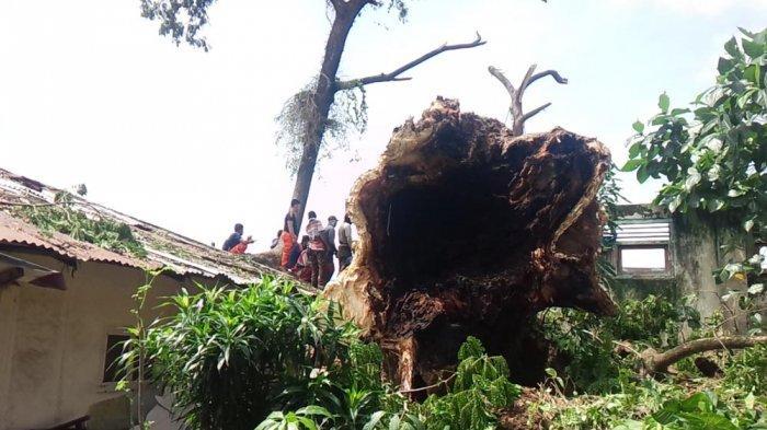 Pohon Tumbang yang Timpa Rumah di Telukbetung Selatan Dikenal Angker