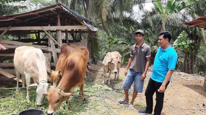 Antisipasi Virus Jembrana, Disnak Tubaba Vaksinasi Ternak Sapi Bali