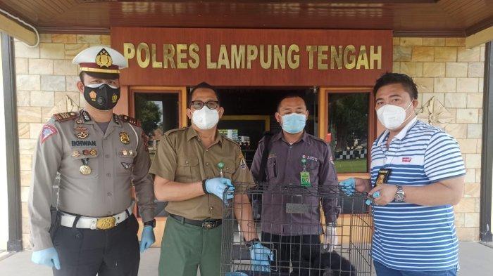 Polres Lampung Tengah Serahkan Satwa Dilindungi ke BKSDA.