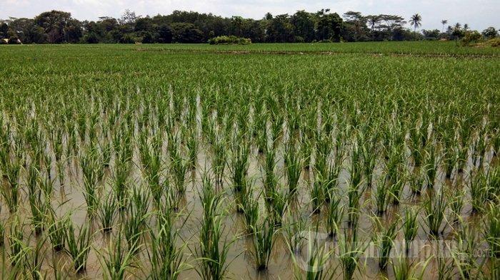 Prediksi Tanam Padi Musim Kemarau di Pringsewu 10.734 Hektare