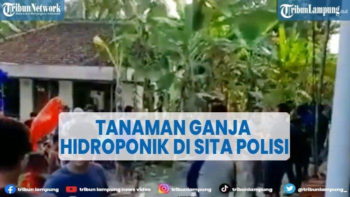 VIDEO Ratusan Tanaman Ganja Hidroponik di Sita Polisi