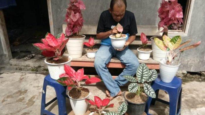 Salurkan Hobi saat Pandemi, Menyan Budidaya Tanamanan Hias Aglonema di Pekarangan Rumah