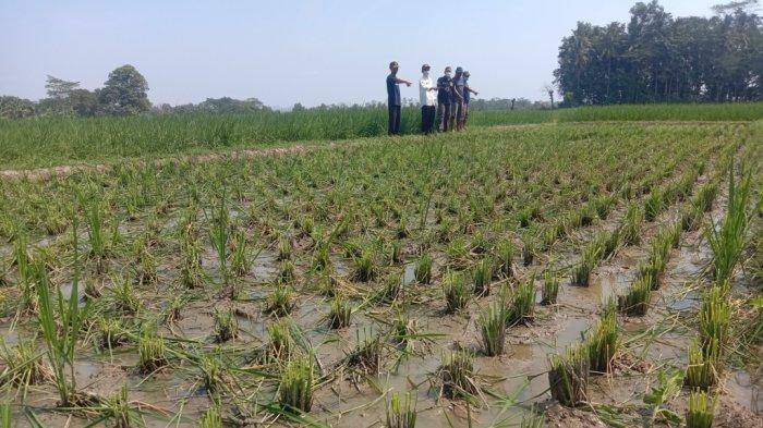 Petani di Pringsewu Lampung Kewalahan Menghadapi Serangan Hama Tikus