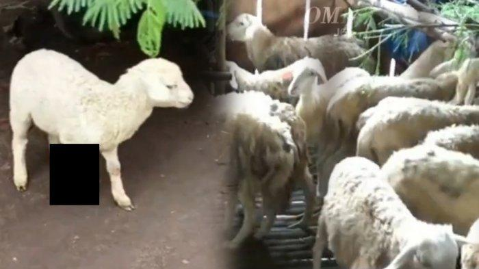 40 Kambing Mati Luka Cabik, Diduga Diserang Binatang Buas