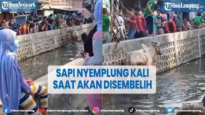 VIRAL Sapi Loncat ke Kali Gara-gara Takut saat Mau Disembelih
