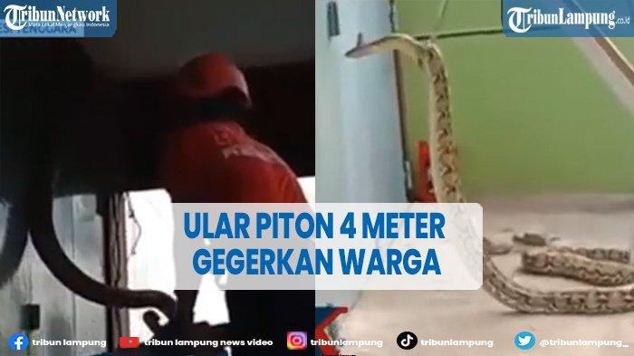 Warga Kota Baubau Geger, Ada Ular Piton 4 Meter di Ventilasi Ruko