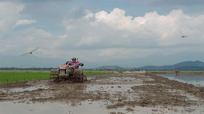 Petani Padi Pringsewu Andalkan Air Sungai di Puncak Kemarau