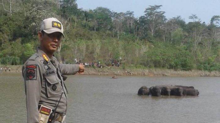 Sempat Tertahan di PLTA Tanggamus, 12 Gajah Mulai Bergeser Ke TNBBS