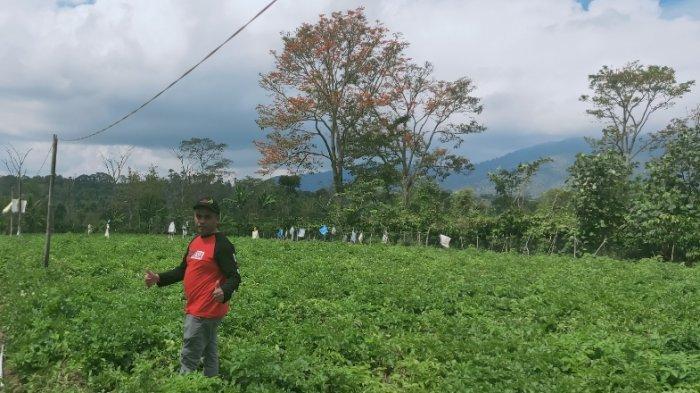 Piawai Manfaatkan Lahan Kosong, Petani di Lambar Raup Omzet Rp 150 Juta dalam Tempo 90 Hari