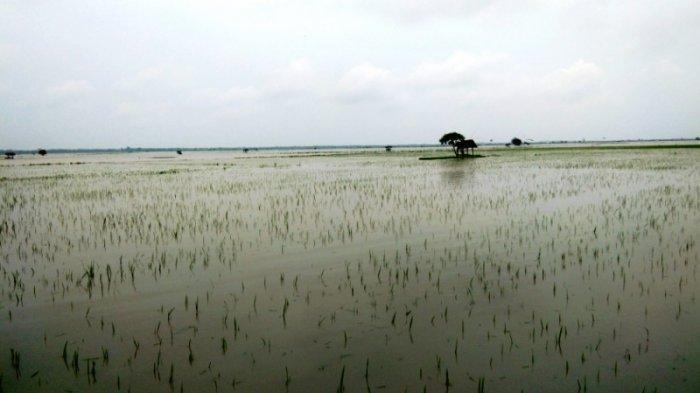 Sungai Way Sekampung Meluap, Ratusan Hektare Sawah di Palas Terendam Banjir