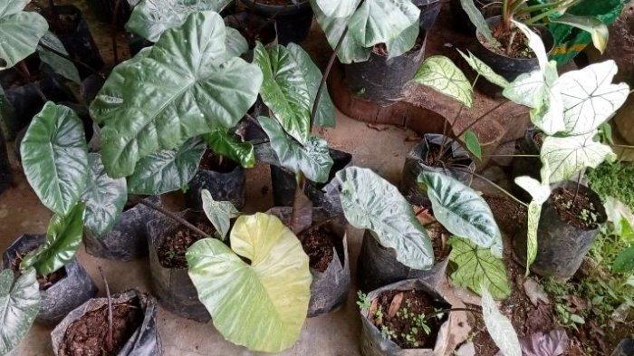 Taman Wisata Alam Segar Sari Lampung Barat Jual Tanaman Hias Mulai Rp 25 Ribu