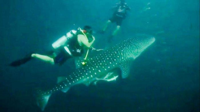 Thomas Riska Berenang Bersama 2 Hiu Paus di Perairan Tegal Mas