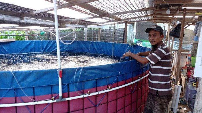 Warga Mesuji Lampung Budidaya Udang Vaname Air Tawar, Dilego Rp 50 per Kg