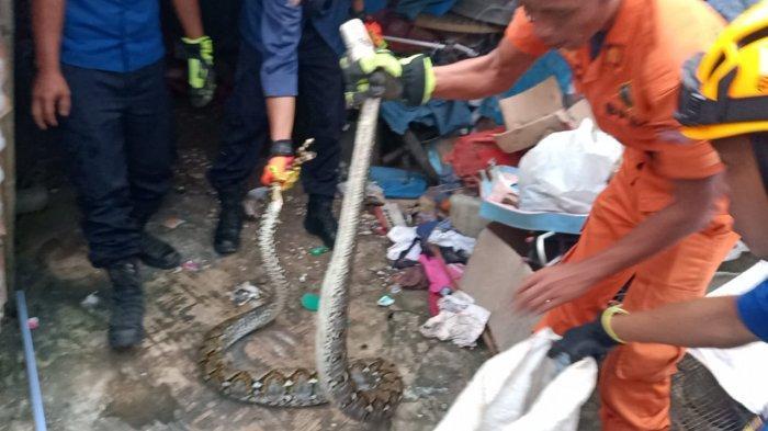 Ular Sanca Kembang 3 Meter Sembunyi di Bawah Karpet Rumah Warga Enggal