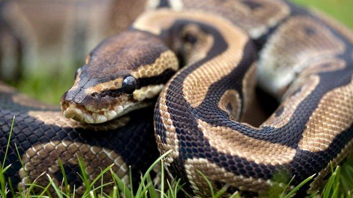 Ilustrasi ular. Simak arti mimpi ular, hati-hati ada bahaya tersembunyi