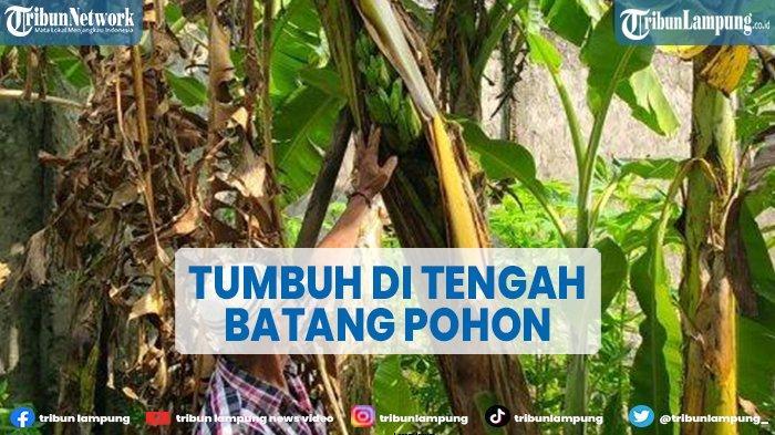 Pisang di Majalengka Tumbuh di Tengah Batang Pohon