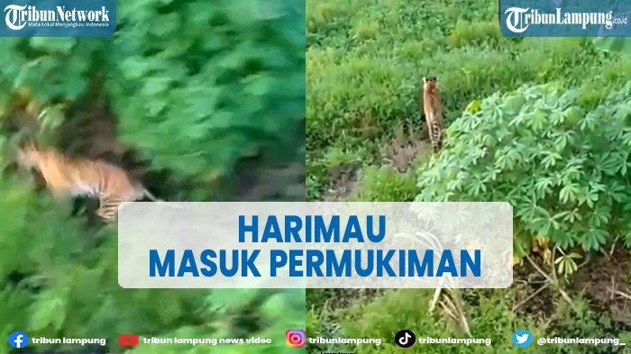 VIRAL Harimau Sumatra Masuk Pemukiman dan Mangsa Ternak Warga