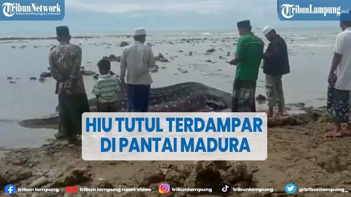Hiu Tutul Panjang 4 Meter Terdampar di Madura, Jadi Tontonan Warga