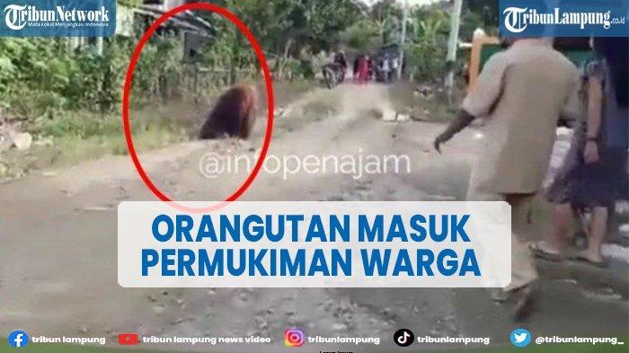 Viral Orangutan Masuk Permukiman Warga di Kalimantan Timur