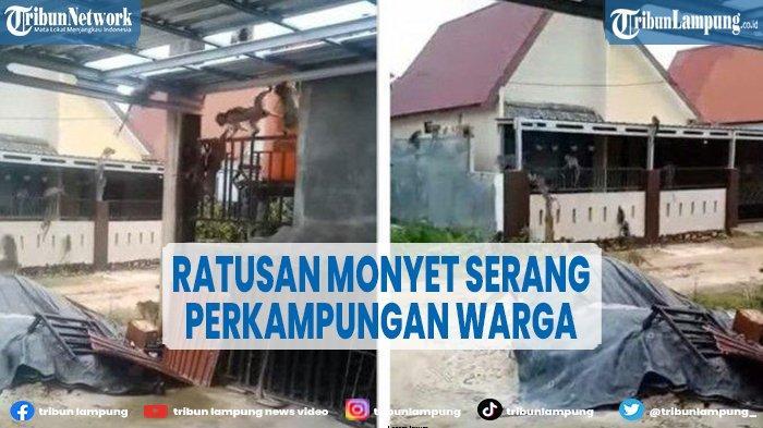 Warga di Martapura Tak Berani Keluar Rumah, Ratusan Monyet Serang Perkampungan Penduduk