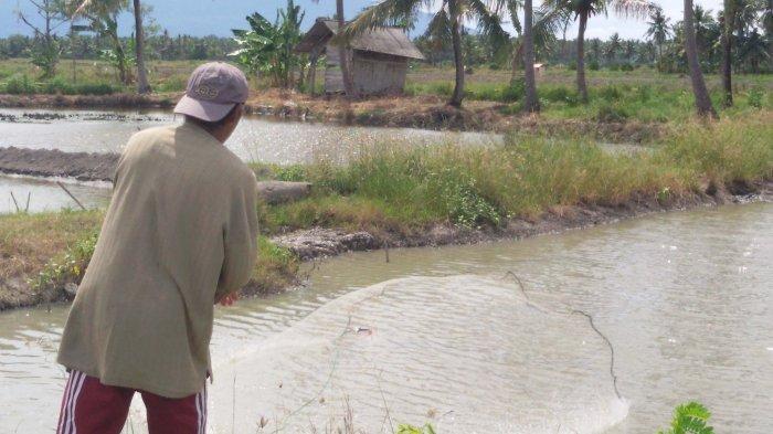Virus Myo-Necrosis Ancam Petambak Udang di Pesisir Pantai Timur Ketapang dan Sragi