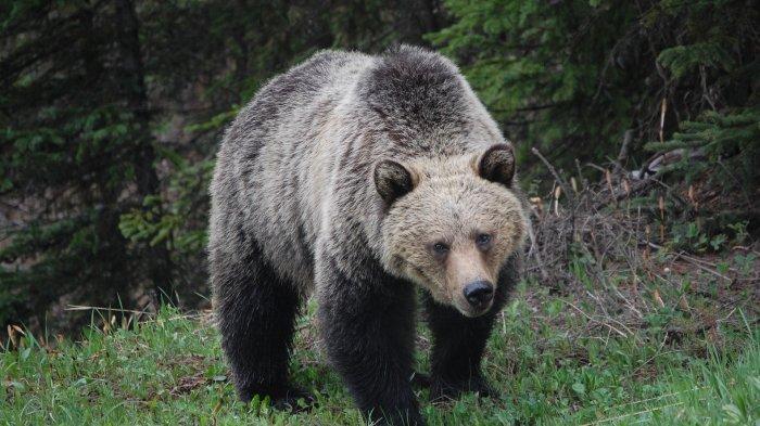 Warga Lampung Barat Geger Beruang Masuk Pemukiman, Sudah Mangsa 15 Kambing