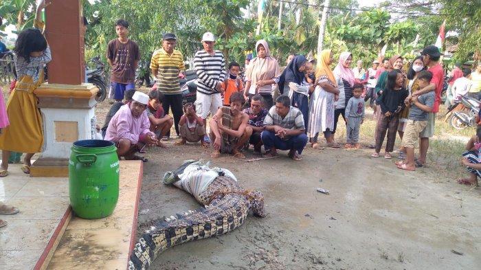Warga Lampung Selatan Tangkap Buaya Muara Sepanjang 4 Meter di Dalam Tambak Udang